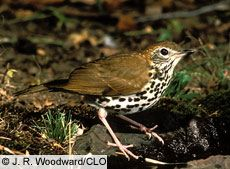 """"""" . . . If only Riley hadn't been such a shy, little wood thrush."""""""