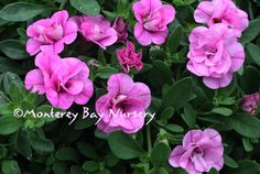 calibrachoa_mini_famous_pink_evolution1.jpg 1,000×670 pixels  (Calibrachoa also avail in blue pink white and  yellow but no pics) This one is my favorite