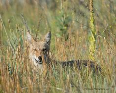 Coyote ©Kevin Rutherford. Wild Bird Company - Boulder, CO, Saturday Morning Bird Walk in Boulder County - August 22, 2015
