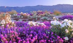 Death Valley Super Bloom 2016 - another super bloom for 2017 is expected.