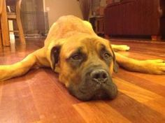 MI - Bentley is an adoptable Bullmastiff Dog in Lewis Center, OH. Meet Michigan's Bentley!  Bentley is a cute 2 year old pup with lots of energy!  This sweet boy loves to play, and is really just one ...