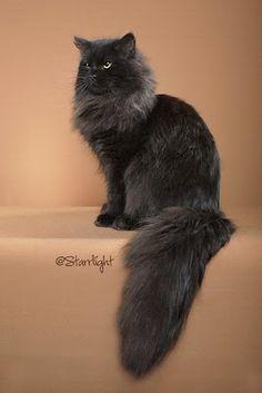 Black siberian cat :) Looks like my last cat - he was a sweetie pie.