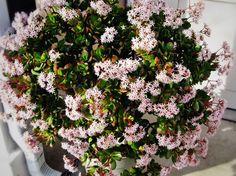 Денежное дерево (60 фото): как получить красивое и здоровое растение? http://happymodern.ru/denezhnoe-derevo-foto-kak-poluchit-krasivoe-i-zdorovoe-rastenie/ Бледно-розовые цветы толстянки Sunset