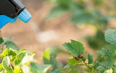 All-Purpose Insect Pest Spray: Learn how to make this effective spray to control pests in the garden. Household Pests, Household Cleaning Tips, House Cleaning Tips, Diy Cleaning Products, Cleaning Hacks, Pest Spray, Squash Bugs, Weed Control, Bug Control