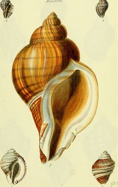 Shell Drawing, Painted Shells, Nature Illustration, Nature Prints, Botanical Art, Sea Creatures, Natural History, Sea Shells, Sketches