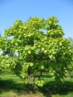 Vintage catalpa bignonioides Trompetenbaum meerstammig m Sonne Halbschatten