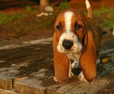 Basset Hound puppy OMG!!!  I love his ears