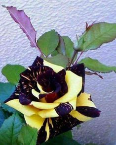"""""""Sin olor no hay flor completa. Beautiful Rose Flowers, Unusual Flowers, Unusual Plants, Rare Flowers, Amazing Flowers, Rare Roses, Purple Roses, Purple Yellow, Flower Pictures"""