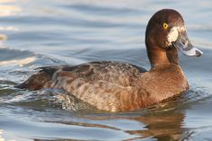 Greater Scaup Aythya marila - Google Search