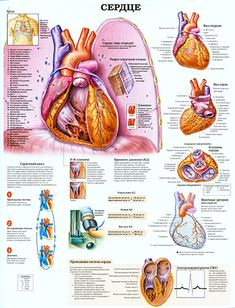 The Heart anatomy poster features cutaways of interior structures of the anterior view of heart sitting on diaphragm. Oils For Newborns, Human Body Diagram, Cardiac Cycle, Heart Health Month, Heart Anatomy, Anatomy Bones, Heart Valves, Essential Oils For Colds, Respiratory Therapy