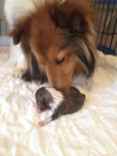 Gabby loves her new baby! Sheltie Puppies For Sale, Collie Puppies, Collie Dog, Cute Puppies, Dogs And Puppies, Dachshund Dog, Pet Dogs, Dog Cat, Dogs Day Out