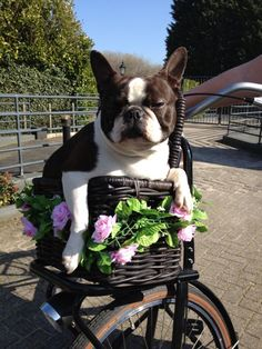 Boston Terrier Dog Ready for a Ride on the Bike! - This is Bikkel from the Netherlands ► http://www.bterrier.com/?p=28859 - https://www.facebook.com/bterrierdogs