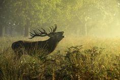 Red deer stag! by Inguna Plume on 500px