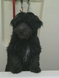 Whoodle (wheaten terrier & poodle)