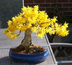 Forsythia Bonsai