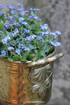 niezapominajka Forget Me Not, Planter Pots, Balcony