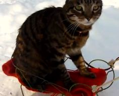 Cat gets pulled around on a tiny sled.