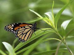 Making butterflies count - JSOnline