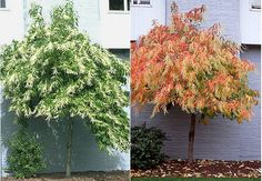 Sourwood. Oxydendrum arboreum. 20-50' tall. 10-25' wide. Blooms June-July. Good fall color. Seed pods last through winter.