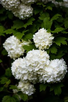 Blooms of a Viburnum opulus, also known as the 'Snowball tree' Garden Landscape Design, Snowball Tree, Arum Lily, Trees To Plant, Garden, Rural Landscape, Country Gardening, Viburnum Opulus, Planting Flowers