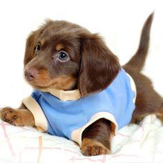 All dressed long hair dashshund! Sweet