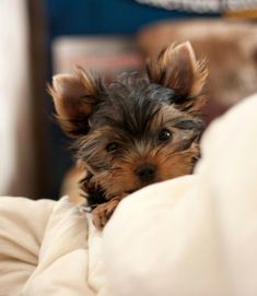 Teacup Yorkie, Teacup Puppies, Cute Puppies, Dogs And Puppies, Yorkies, Yorkie Puppy, Yorky Terrier, Yorshire Terrier, Cute Dogs Breeds