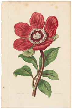 Anne Pratt rare antique 1860 botanical print, Pl 9 Peony, Flowering Plants #Vintage