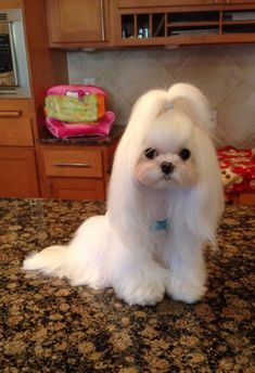 "Click visit site and Check out Best ""Maltese"" T-shirts. This website is… Teacup Maltese, Teacup Puppies, Maltese Dogs, Cute Puppies, Cute Dogs, Dogs And Puppies, Doggies, Chihuahua Dogs, Shih Tzu Hund"