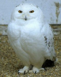 I love snowy-owls, I think they always look as if they are smiling