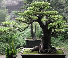Bonsai is a Japanese art form using miniature trees grown in containers. The word bonsai is usually used in English as an umbrella term for miniature trees in pots. Bonsai is not planted for production of food, for medicine, or for creating. Outdoor Bonsai Tree, Indoor Bonsai, Bonsai Plants, Bonsai Garden, Bonsai Ficus, Juniper Bonsai, Patio Plants, Tree Garden, Plantas Bonsai