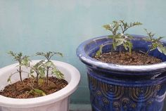 Grow tomato plants in 5-gallon containers in full sunlight; position a wire cage over plants while young; water daily when fully mature, but stop when water emerges from the bottom of the pot; apply fertilizer once a week; give plants a gentle shake when blooms appear, to encourage pollination.