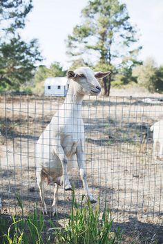 White goat by Olivia Rae James, via Flickr