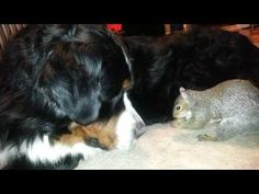 Squirrel hides nuts in a fur of his friend Dog | Positive Flower