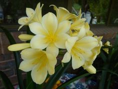 Detailed description of the Clivia plant species. Plants For Shady Areas, Coffee Filter Flowers, Moon Garden, Spring Projects, Plant Species, Colorful Garden, Lawn And Garden, Potted Garden, Garden Chairs