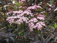 Sambucus nigra 'Guicho Purple' – donkerbladige vlier, kan 4 m. hoog worden, mooie blad en bloemheester, kan op alle grondslag. Schaduw kunnen ze hebben maar bloei (en bes) dan vaak minder.