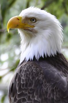 Birds of Prey - Raptor - Bald Eagle in Ketchikan, Alaska.
