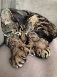 polydactyl cat - Aka Hemingway cat