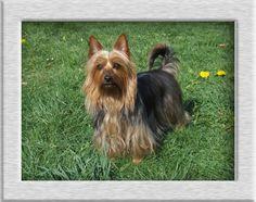 Australian Silky Terrier http://www.ofsilkysdream.de
