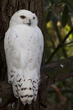 ..Snowy Owl by ~Jay-Co..
