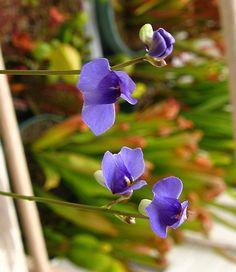 รับฝากสั่ง Utricularia, aldrovanda, Genlisea รวมถึงCarnivorous plants อื่นๆ