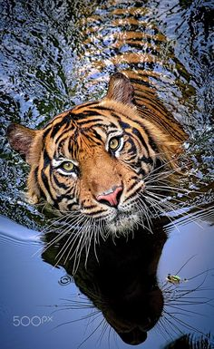 Tiger Instinc by Robert Cinega on 500px
