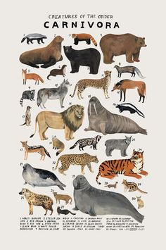 Creatures of the order Carnivora, Art print of an illustration by Kelsey Oseid. This poster chronicles 30 amazing bears, big cats, wolves, and more from the taxonomic order Carnivora. Printed in Minneapolis on acid fre Art And Illustration, Animal Illustrations, Animal Drawings, Art Drawings, Graffiti Kunst, Art Et Nature, Nature Study, Animal Posters, Natural History