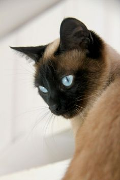 Terrific Totally Free siamese cats snowshoe Popular Siamese kittens and cats would be better better known for their streamlined, streamlined bodies, foamy applic Siamese Kittens, Cats And Kittens, I Love Cats, Cute Cats, Snowshoe Siamese, Animals And Pets, Cute Animals, Gato Animal, Beautiful Cats