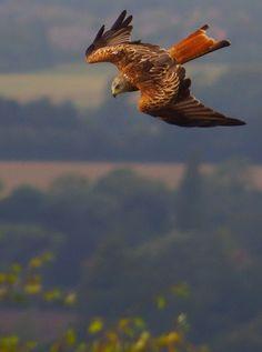 Red Kite begins to stoop - the Chilterns Red Kite, British Wildlife, Birds Of Prey, Bird Feathers, Beautiful Birds, Great Photos, Pet Birds, Eagles, Bald Eagle