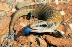 Blue Tongued Lizard - Order: Squamata, Family: Scincidae - Blue-tongued lizards are the largest members of the skink family (Scincidae).