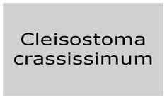 Cleisostoma crassissimum