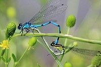 Mating Azure Damselflies coenagrion puella on buutercups near a pond in Prague Czech Republic. Code: V46-822202 Collection: age fotostock User license: Rights Managed Photographer: Mary C. Legg