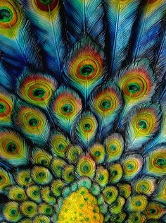 Peacock Feathers, 孔雀 クジャク 羽