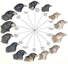 Darwin's finches: read The Beak of the Finch and the illustration will make a lot more sense. (Hint: it's about evolution). The book won the 1995 Pulitzer for General Non-Fiction.