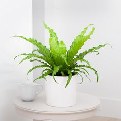 Check out our easy-care, pet-friendly, low-light and unusual houseplants. Indoor Ferns, Potted Ferns, Indoor Plants, Plant Lighting, Grow Organic, Large Plants, Plant Sale, Low Lights, Houseplants
